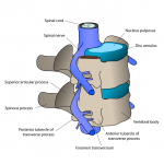 The relationship between spine and spinal cord is vitally important