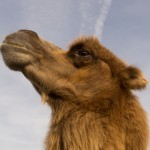 How many straws can a camel carry anyway?
