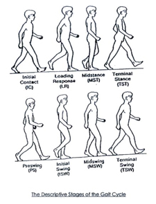 The human gait cycle