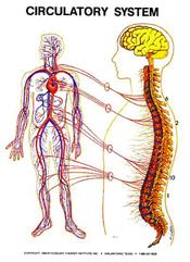 masche-chiropractic-circulatory-system