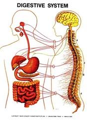 Digestive Zone