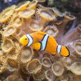Clownfish swimming in tank