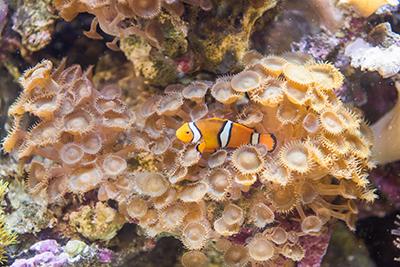 Clownfish in tank