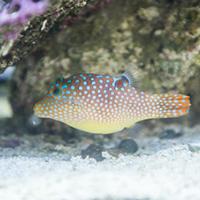 Pufferfish swimming in tank
