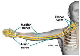 Nerves in the Neck