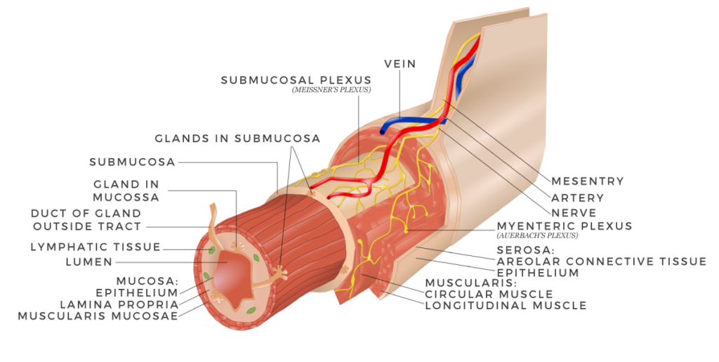 Gastrointestinal wall