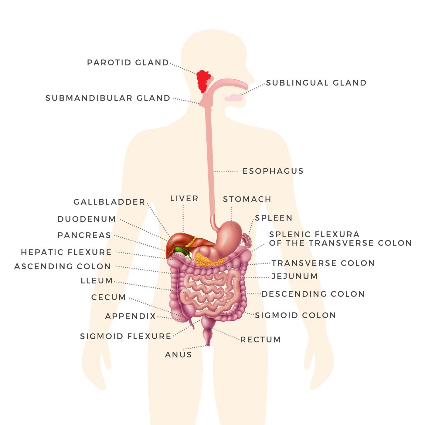 Gastrointestinal-organs