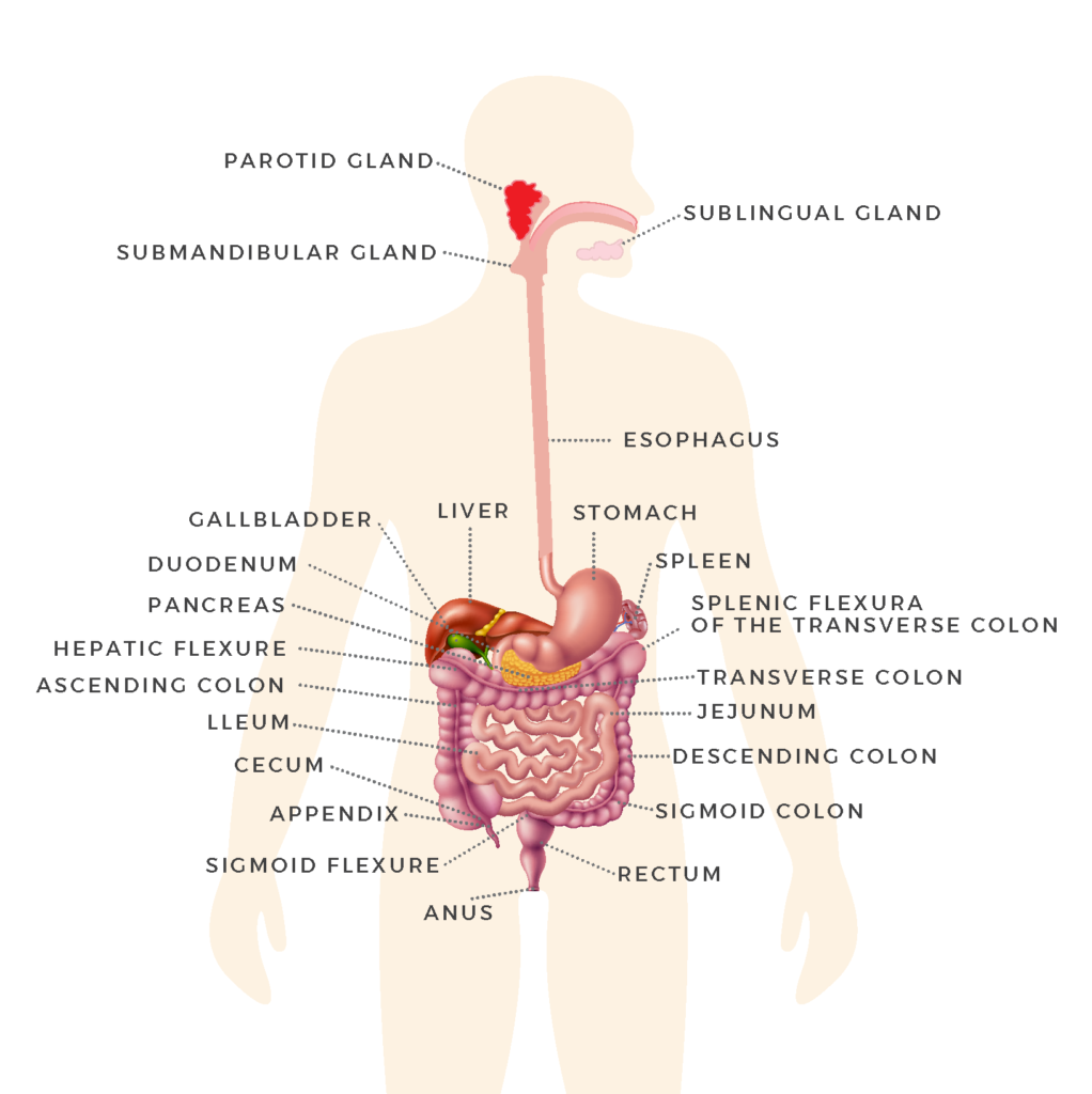 Organs of the GI tract