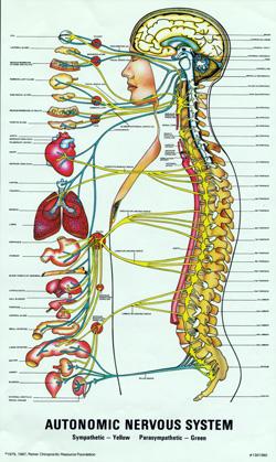 Your Autonomic Nervous System.