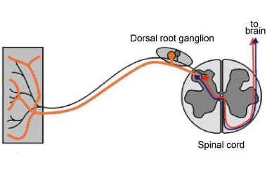 dorsal-root-ganglion-drawing