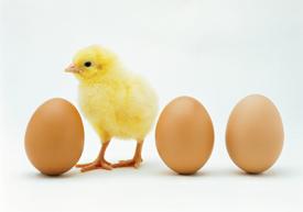 Chicken standing between eggs