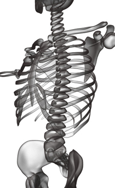 Mid section view of the spine