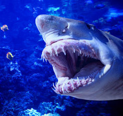 Shark with mouth wide open