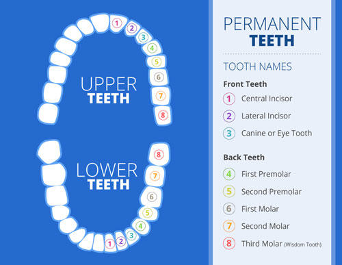 Chart showing positions of adult teeth