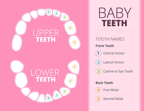 Chart of baby teeth positions