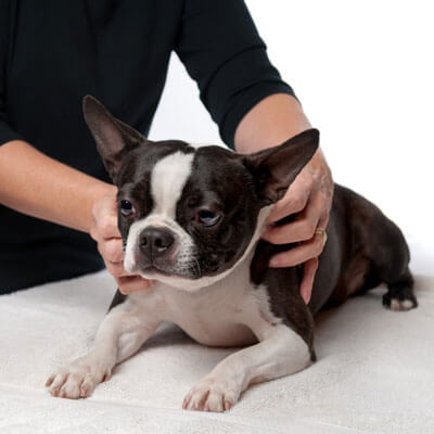 Dog having chiropractic adjustment