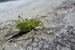 stone cricket