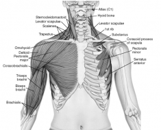 SCM, pectorals and biceps