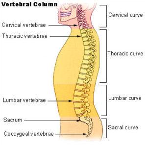 Illu_vertebral_column-300x300