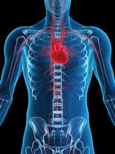 human-heart-anatomy