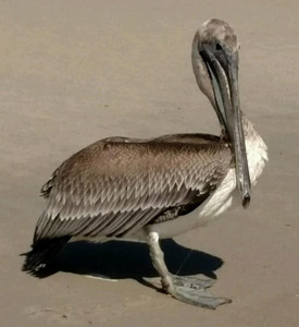 Pelican rescue October 2015 Kure Beach