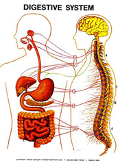 masche-chiropractic-digestive-system