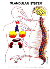 masche-chiropractic-glandular-system
