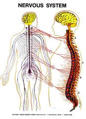 masche-chiropractic-nervous-system