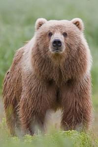 VHP bear