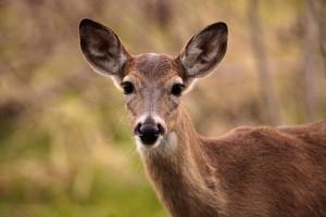 VHP deer
