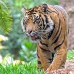 VHP tiger