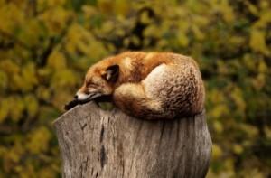 Fox sleeping on log
