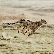 Cheetah running outside