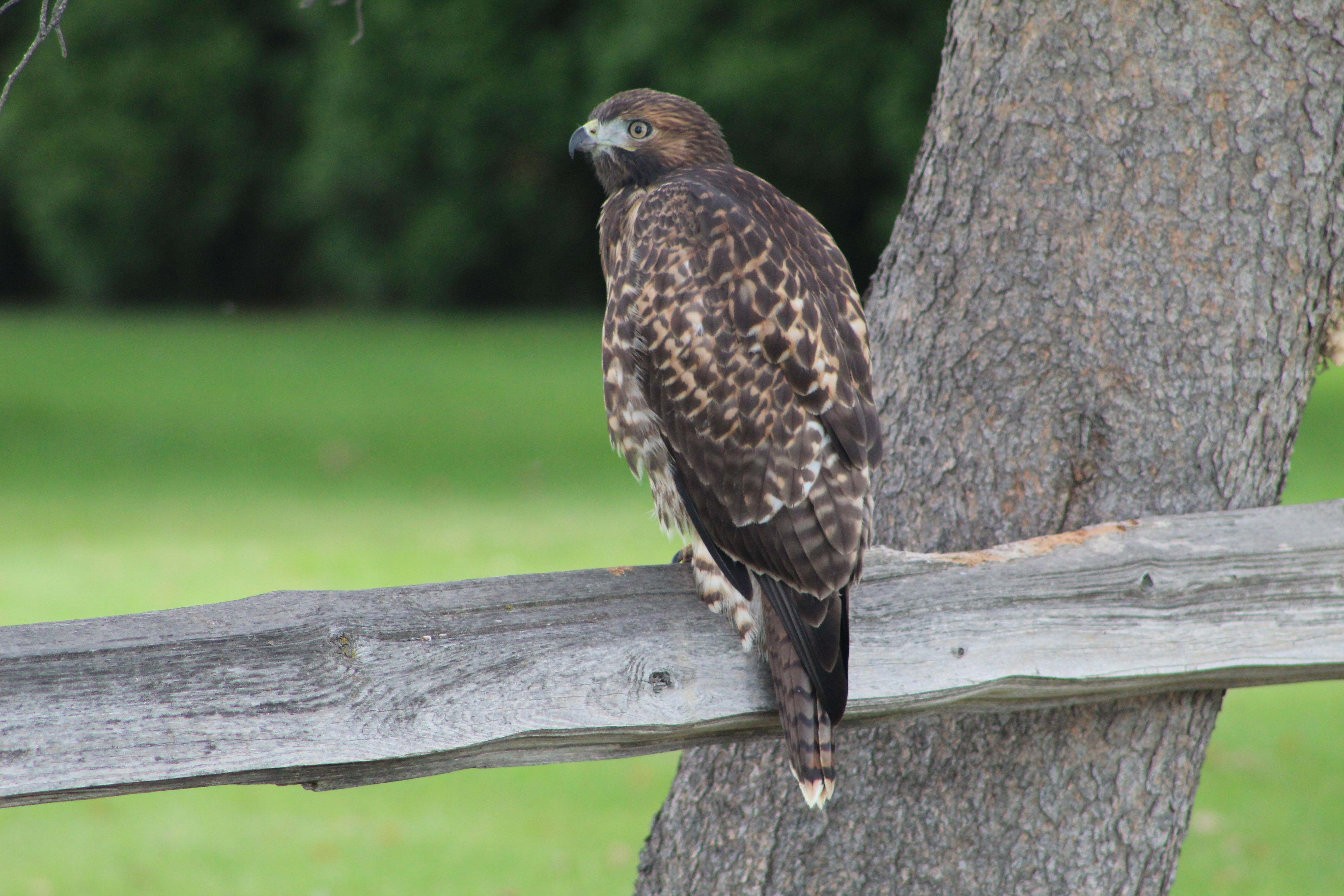 Redtail Hawk, Purple Sage Golf Course, 6/20/20