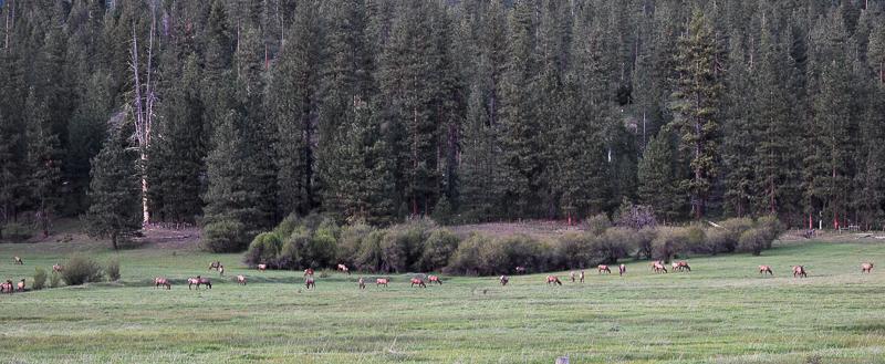 Spring Elk, Ken Swaim - 5/17/21